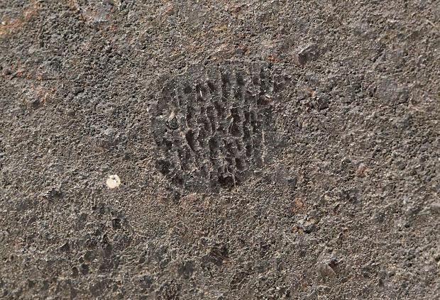 Siewierz - 2mm chondra belkowa przepięknie widoczna na skorupie